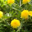 Flowers dandelions yellow — Stock Photo