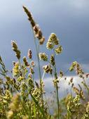 Ears oats field — Stock Photo