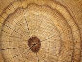 Tree oak cut — Stock Photo