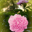 Flowers dahlias pink petals — Stock Photo #3242782