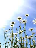 Flowers camomiles sun — Stock Photo
