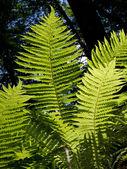 Yaprakları eğreltiotu — Stok fotoğraf