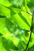 Leaves tree willow — Stock Photo