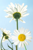 Flowers camomiles sky — Stock Photo