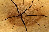 Textures tree linden — Stock Photo