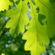 Leaves  tree  oak — Foto de Stock