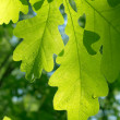 Leaves  tree  oak — Stockfoto