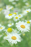 Flowers camomiles — Stock Photo