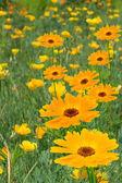 Květiny camomiles žluté květy — Stock fotografie