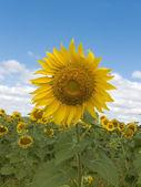 Fältet blomma solros — Stockfoto