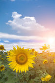 Field flower sunflower sunset — Stok fotoğraf