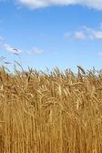 Field wheat ears — Stock Photo