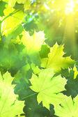 Leaves tree maple sun — Stock Photo