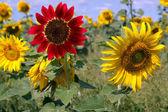 フィールドの花ヒマワリ — ストック写真