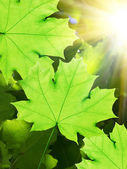 Leaves tree maple — Stock Photo
