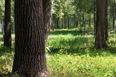 Tree oak trunk — Stock Photo