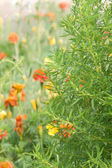 Bush plant decoratieve — Stockfoto