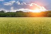 Ear wheat field sunset — Stock Photo