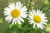 Flowers camomiles — Stock Photo