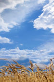 Ears wheat field maturing — Stock Photo