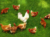 Hens field cock — Stock Photo