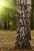 Tree birch grove — Stockfoto