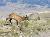Blurred Yellowstone Fauna in Motion — Stock Photo