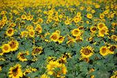 Sunflowers Meadow, Tuscany — Stock Photo