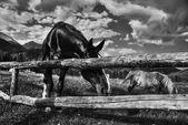 Horses, Dolomites, Italy, August 2007 — Stock Photo