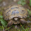 Tortoise in the Garden, Italy — Stock Photo