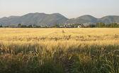 Cornfield in Tuscany Countryside — Stock Photo
