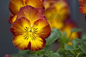 Daisy blommor i en trädgård — Stockfoto