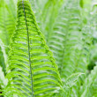 Fern Leaves Background — Stock Photo