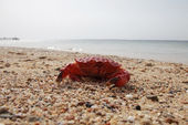 Red crab — Stock Photo