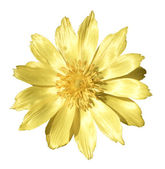 Spring yellow flowers of Adonis — Stock Photo