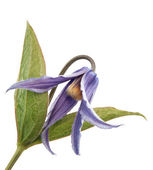 Clematis integrifolia , flower of clematis integrifolia — Stock Photo