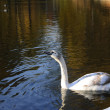 Grey swan on the water in the park — Stock Photo