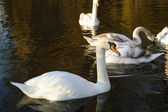 White swan on the water in the park — Stock Photo