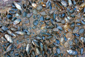 Mussels. — Stock Photo