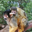 Squirrel monkey — Foto Stock