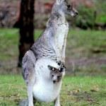 Eastern Grey Kangaroo & Joey — Stock Photo