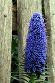 Blue Veronica — Stock Photo