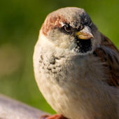 Portrait of a sparrow — Stock Photo