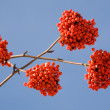 Winter rowan — Stock Photo #2832409