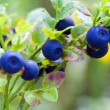 Stock Photo: Bush of ripe bilberry