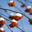 Mountain ash - Stock Photo