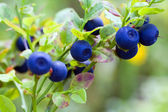Bush of a ripe bilberry — 图库照片