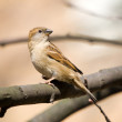 Sparrow on a tree branch — Stock Photo #2898063