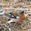 Portrait of chaffinch — Stock Photo