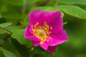 Pink dogrose — Stock Photo